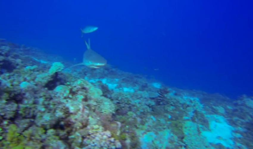 East Reef Sharks