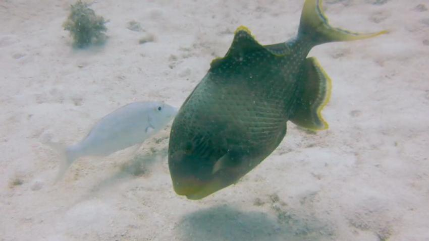 Webster - Green Triggerfish: Emon Beach