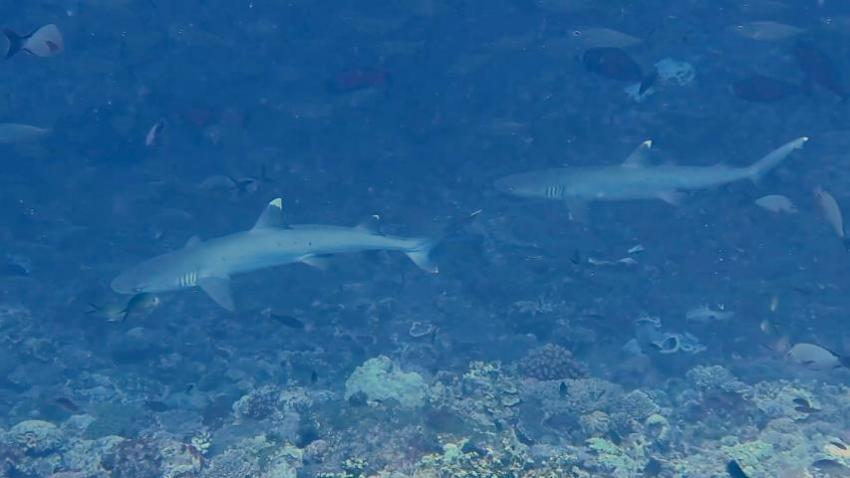 Sharks at work, Troys Coral Head Summer 2014
