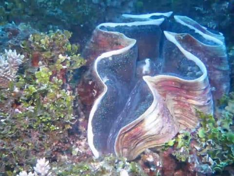 Giant Pacific Clams
