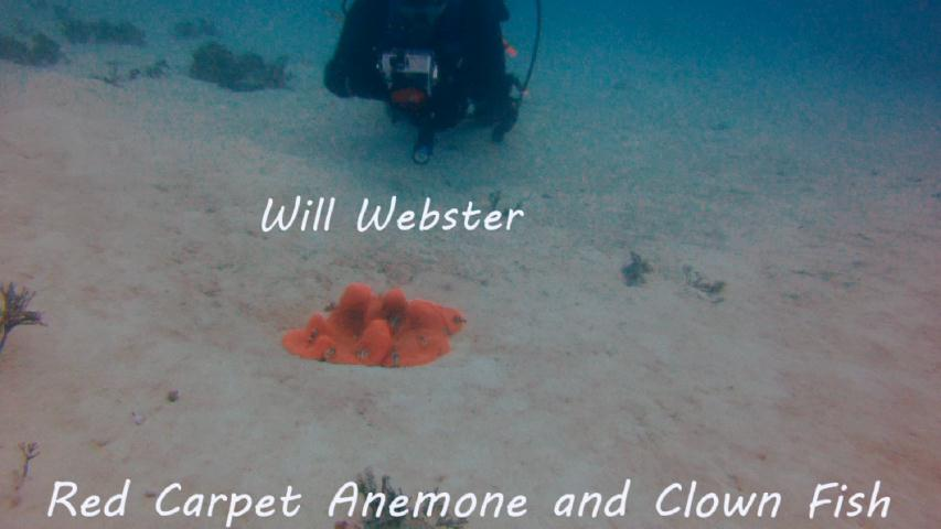 Webster - Red Carpet Anemone